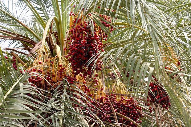 خرمای شرق کرمان بر روی درخت خشک شد
