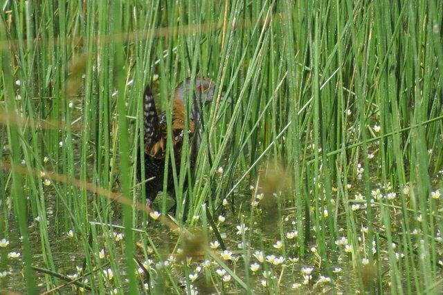 مشاهده یک گونه پرنده کمیاب در تالاب گندمان برای نخستین بار