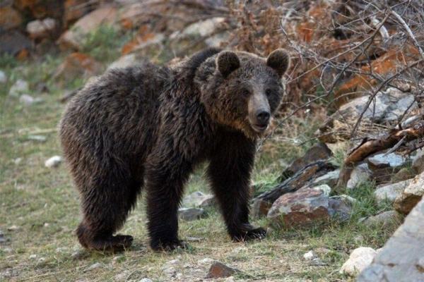 خبرنگاران یک قلاده خرس قهوه ای بر اثر برخورد با کامیون در پارک ملی گلستان تلف شد